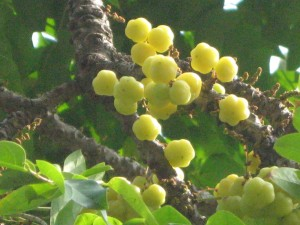 రాచ వుసిరి